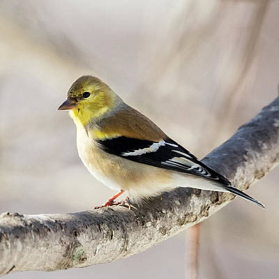 Finches Photograph - American Goldfinch Square by Bill Wakeley