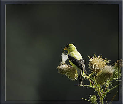American Goldfinch 1 Art Print by Thomas Young