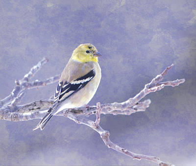 Photograph - American Goldfinch 5 by Deena Stoddard