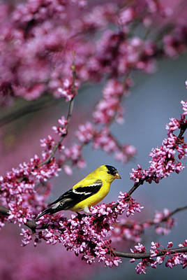Cercis Photograph - American Goldfinch (carduelis Tristis by Richard and Susan Day