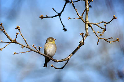 Photograph - American Goldfinch-3 by Christina Rollo