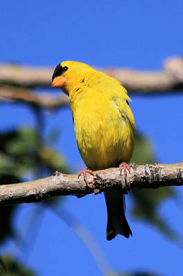 Photograph - American Goldfinch by Shane Bechler