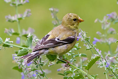 Photograph - American Goldfinch by David Freuthal