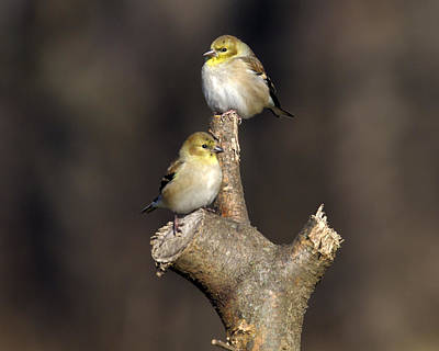 Photograph - American Goldfinch Delight 10 by David Lester