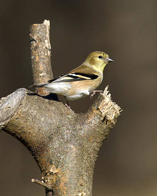 Photograph - American Goldfinch Delight 12 by David Lester