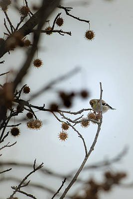 Photograph - American Goldfinch Feeding In Winter by  Onyonet  Photo Studios