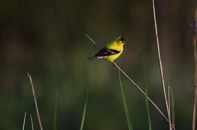 Photograph - American Goldfinch by Greg Vizzi