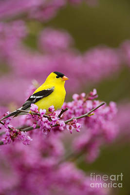 Photograph - American Goldfinch In Redbud by Marie Read