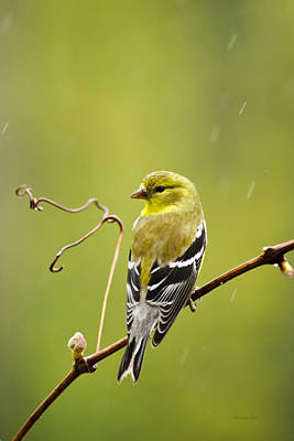 American Goldfinch In The Rain Print by Christina Rollo