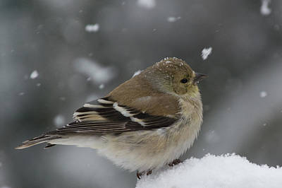 Photograph - American Goldfinch In Winter by Kenneth Cole