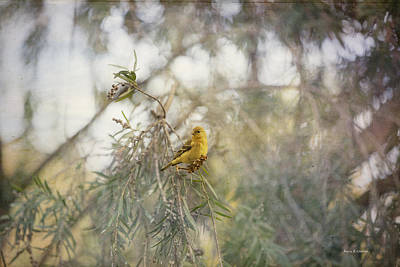 American Goldfinch In Winter Plumage Art Print by Angela A Stanton