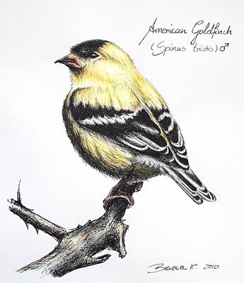 Drawing - American Goldfinch by Katharina Filus