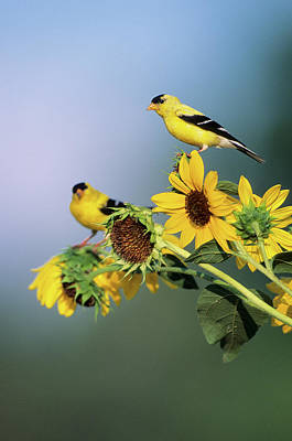 American Goldfinch Photograph - American Goldfinch Male (carduelis by Richard and Susan Day