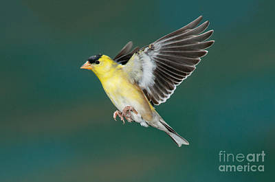 American Goldfinch Male-flying Art Print by Anthony Mercieca