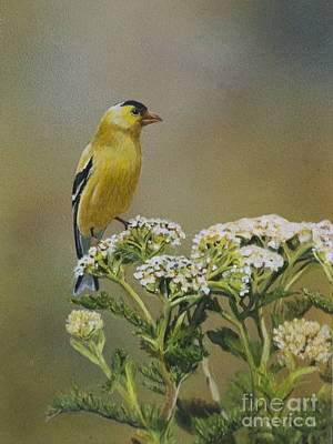 Painting - American Goldfinch by Margit Sampogna