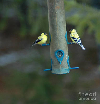 Photograph - 902a American Goldfinch by NightVisions