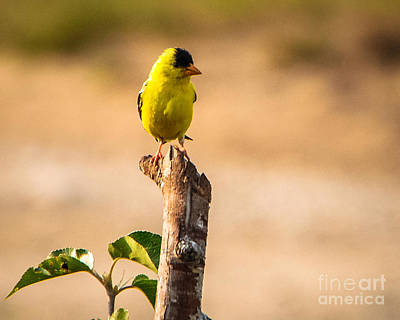 Photograph - American Goldfinch On Stump by Grace Grogan