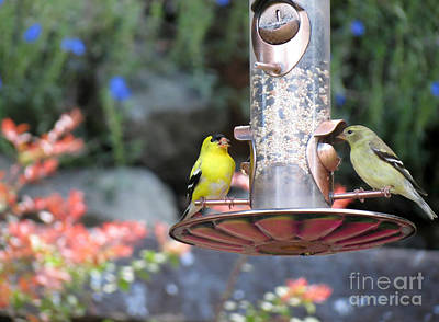 Photograph - American Goldfinch Pair by Chris Anderson