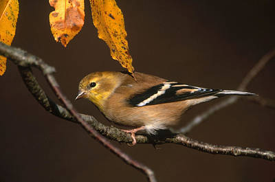 American Goldfinch Print by Paul J. Fusco