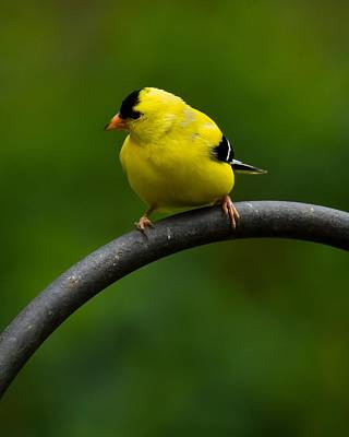 Art Print featuring the photograph American Goldfinch by Robert L Jackson