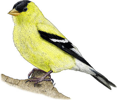 Photograph - American Goldfinch by Roger Hall