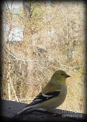 Photograph - American Goldfinch by Sandra Clark