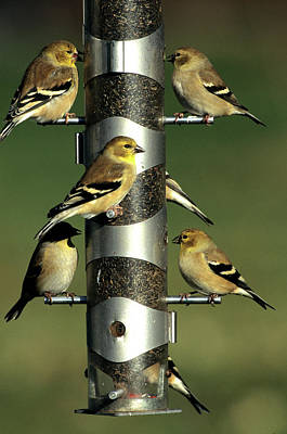American Goldfinch Photograph - American Goldfinches (cardeulis Tristis by Richard and Susan Day