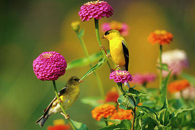 American Goldfinches (carduelis Tristis Art Print by Richard and Susan Day