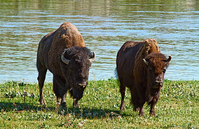 Photograph - American Gothic Bison Version by Stuart Gordon