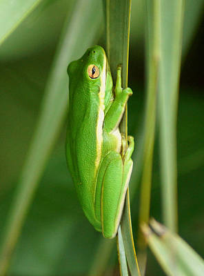 American Green Tree Frog Art Print by Kim Pate