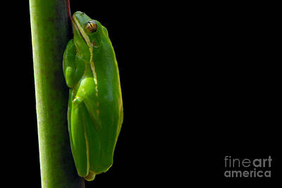 Photograph - American Green Tree Frog by Meg Rousher
