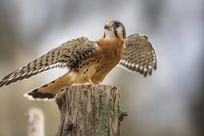 Photograph - American Kestral by Jack R Perry