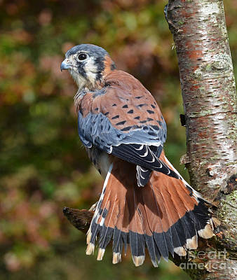 Photograph - American Kestral Portrait by Rodney Campbell