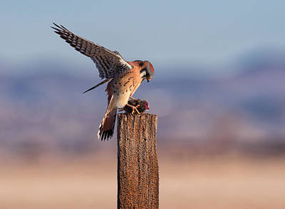 Photograph - American Kestral by Scott Warner