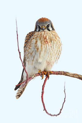 Photograph - American Kestrel by Bill Singleton