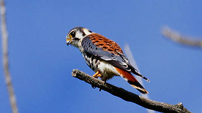 Photograph - American Kestrel by Blair Wainman