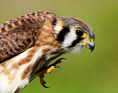 Photograph - American Kestrel Closeup by Ira Runyan