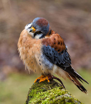 Craig Brown Photograph - American Kestrel by Craig Brown