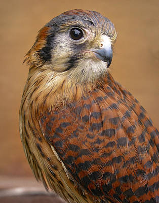 Photograph - American Kestrel by David and Carol Kelly