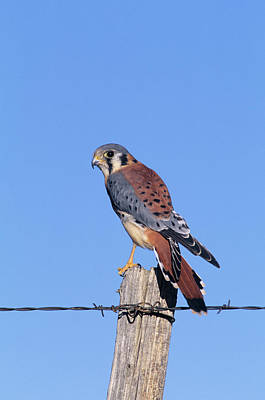 Kestrel Photograph - American Kestrel (falco Sparverius by Richard and Susan Day