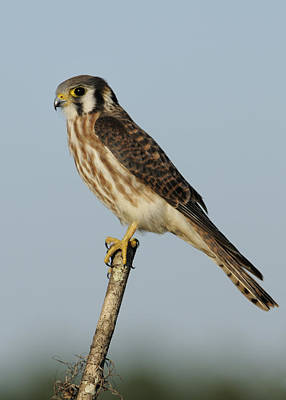 Photograph - American Kestrel Female Perched by Bradford Martin