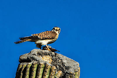 Photograph - American Kestrel by J Michael Runyon