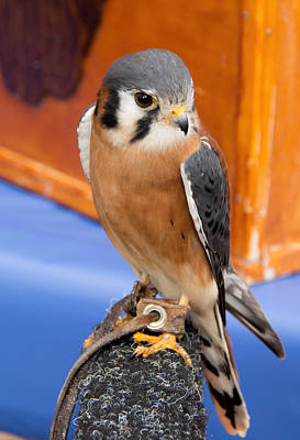 Photograph - American Kestrel by John Black