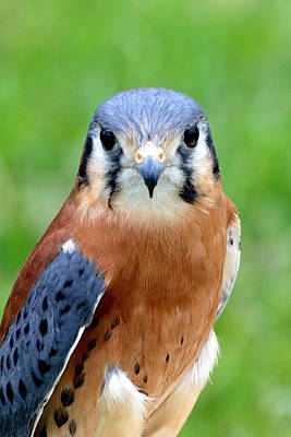 Photograph - American Kestrel by Kathleen Stephens