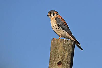 Photograph - American Kestrel Male by Ira Runyan