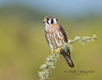 Photograph - American Kestrel by Mike Fitzgerald
