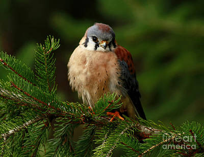 American Kestrel Nestled In The Pine Forest Print by Inspired Nature Photography Fine Art Photography