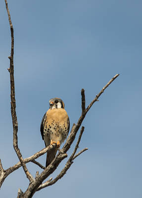 Photograph - American Kestrel Portrait by Loree Johnson