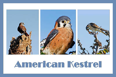 Photograph - American Kestrel Poster by Dawn Currie