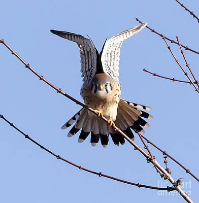Photograph - American Kestrel  by Ricky L Jones